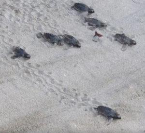 Sea Turtles Racing